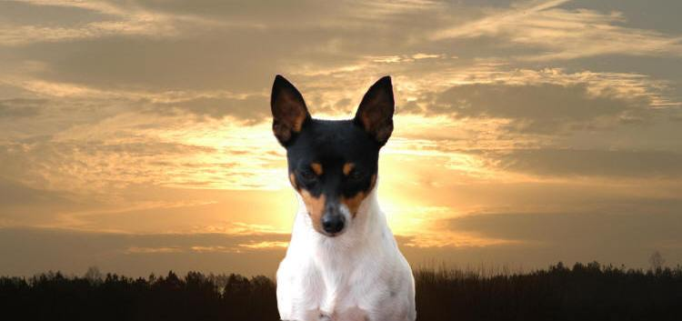 TOY FOX TERRIER INFORMATION & PUPPIES FOR SALE